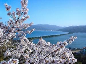 桜(丹海提供)